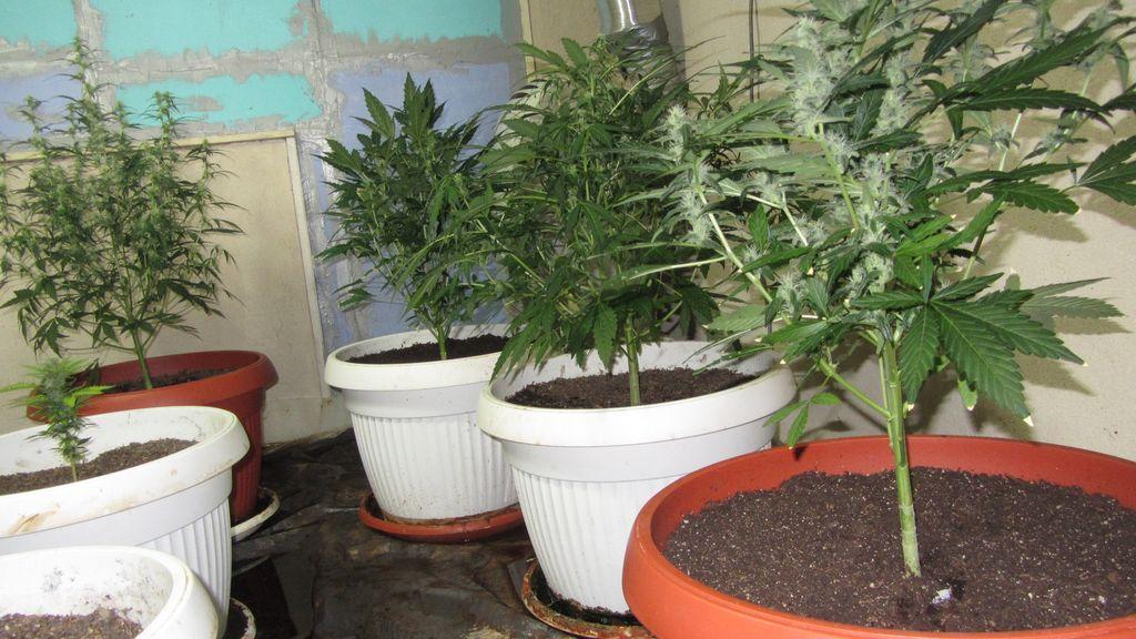 Разкриха лаборатории за отглеждане на марихуана в Павел баня и Виден Публикувано в Pavelbanya.eu